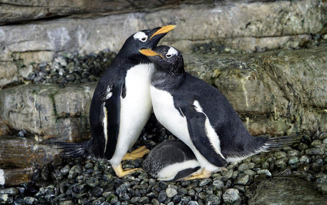 西班牙水族館女同志企鵝共同孵育寶寶,一家三口超甜蜜!